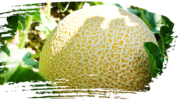 Our Melons – Sol Melons